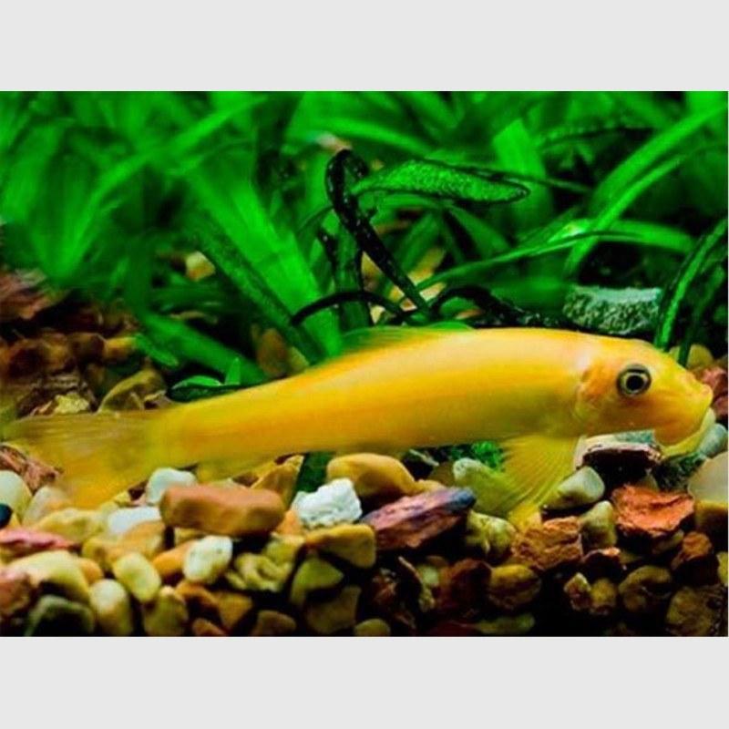 تصویر پک ماهی کت برنز