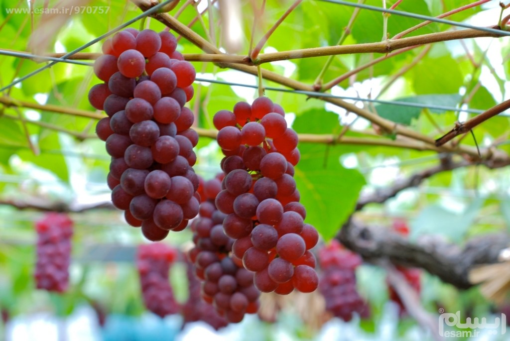نهال انگور امریکایی دانه درشت
