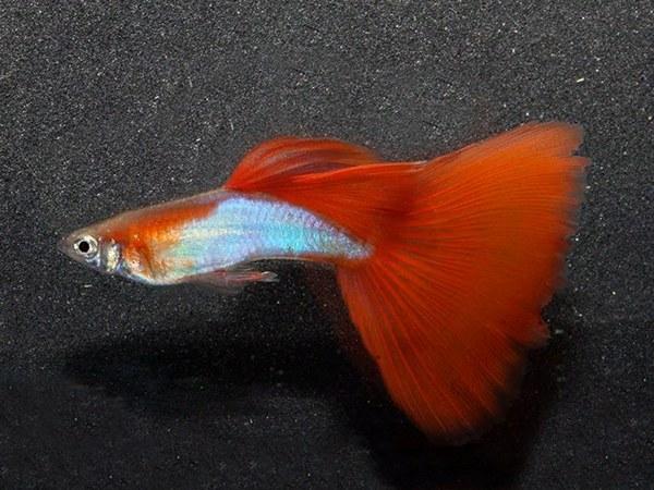ماهی گوپی سیلور رد silver red guppy fish