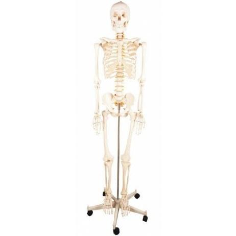 تصویر مولاژ اسکلت بدن انسان 1/2 اندازه طبیعی