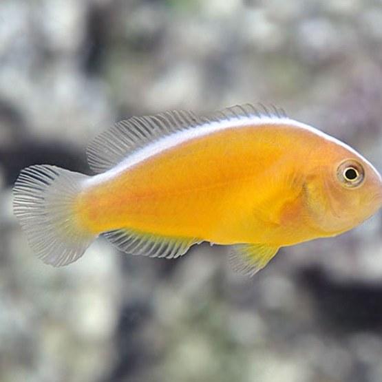 تصویر دلقک ماهی اسکانک نارنجی – Orange Skank Clownfish