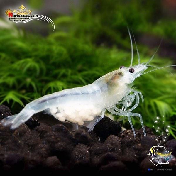 تصویر میگو اسنو بال درجه یک آب شیرین Snowball Shrimp