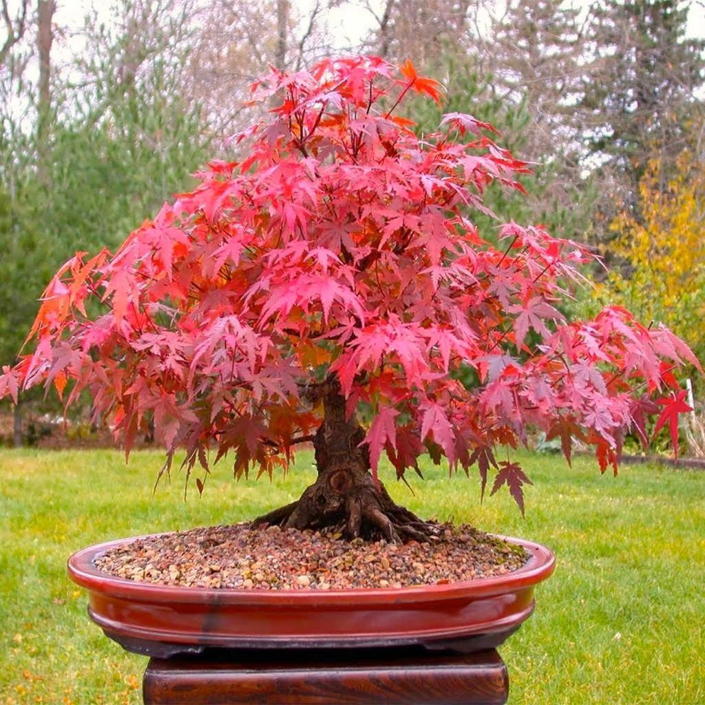 بذر درخت افرا قرمز |