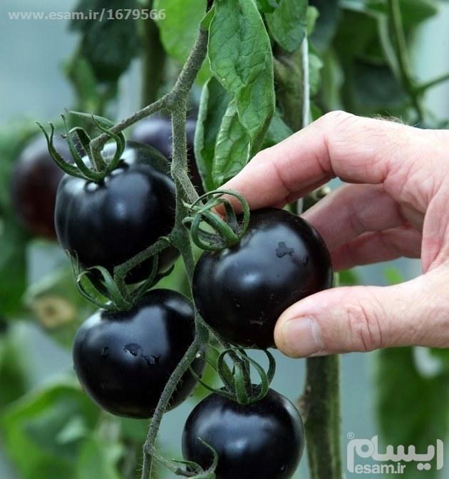 بذر گوجه فرنگی مشکی |