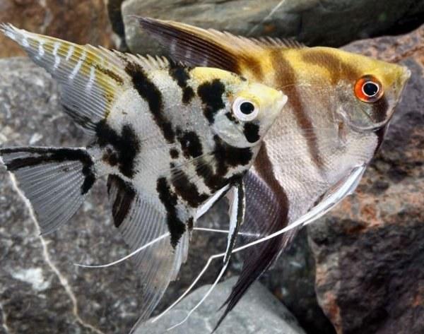 ماهی آنجل angel fish