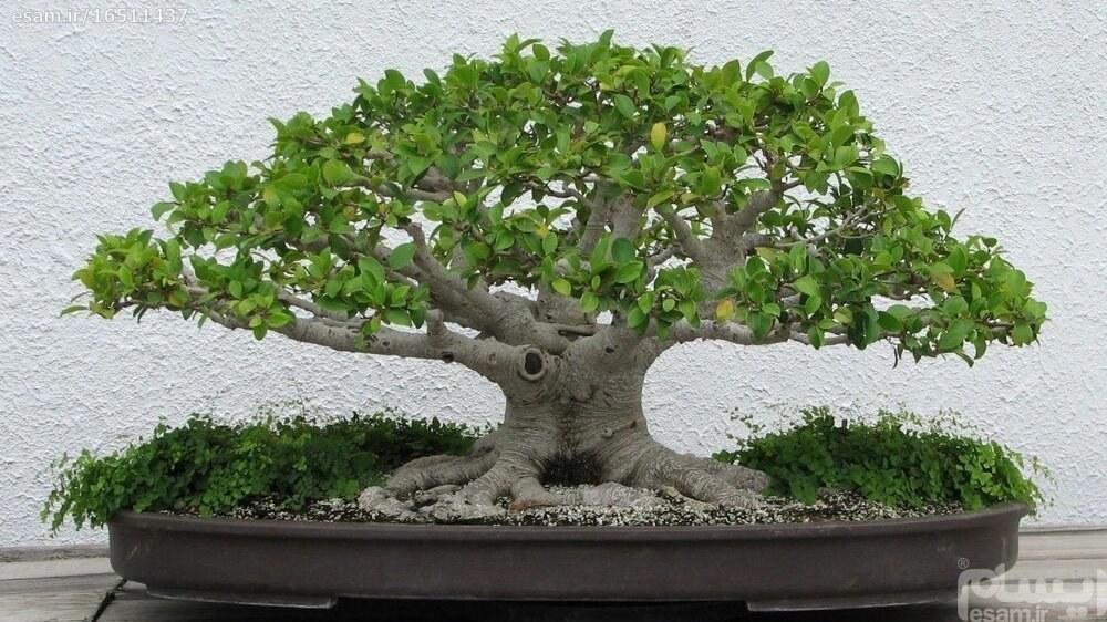 بذر بنسای Ligustrum lucidum / بونسای معطر گلدار
