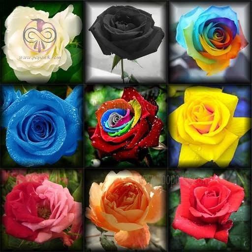 بذر گل رز میکس 10 رنگ |