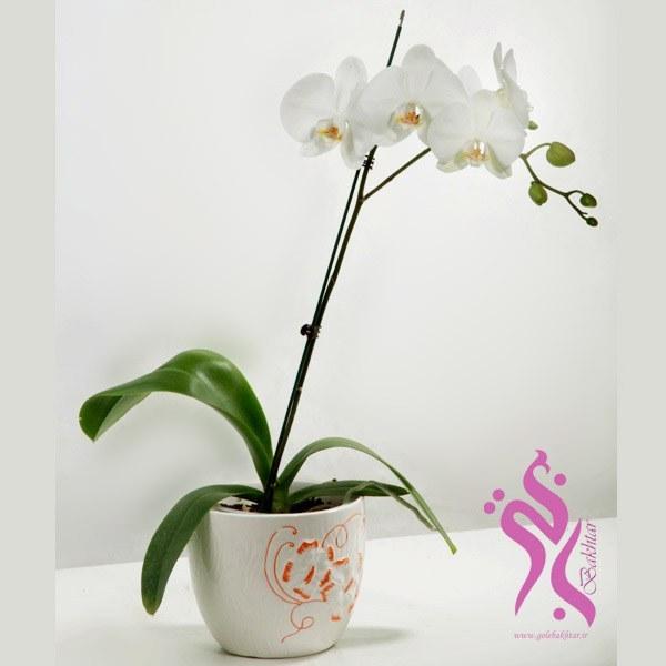 تصویر گل ارکیده فلونوپسیس(همراه گلدان )