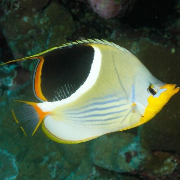 تصویر پروانه ماهی زین دار – Saddleback Butterflyfish