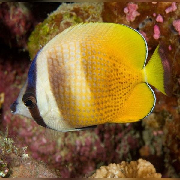 تصویر پروانه ماهی کلینی – Klein's Butterflyfish