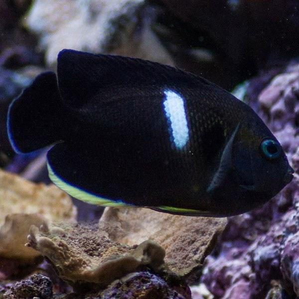 تصویر فرشته ماهی کی هول – Tibicen Angelfish