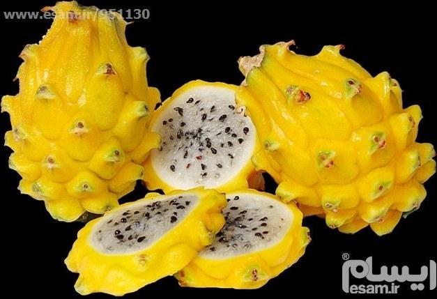 عکس نهال میوه دراگون فروت زرد یا میوه اژدها  نهال-میوه-دراگون-فروت-زرد-یا-میوه-اژدها
