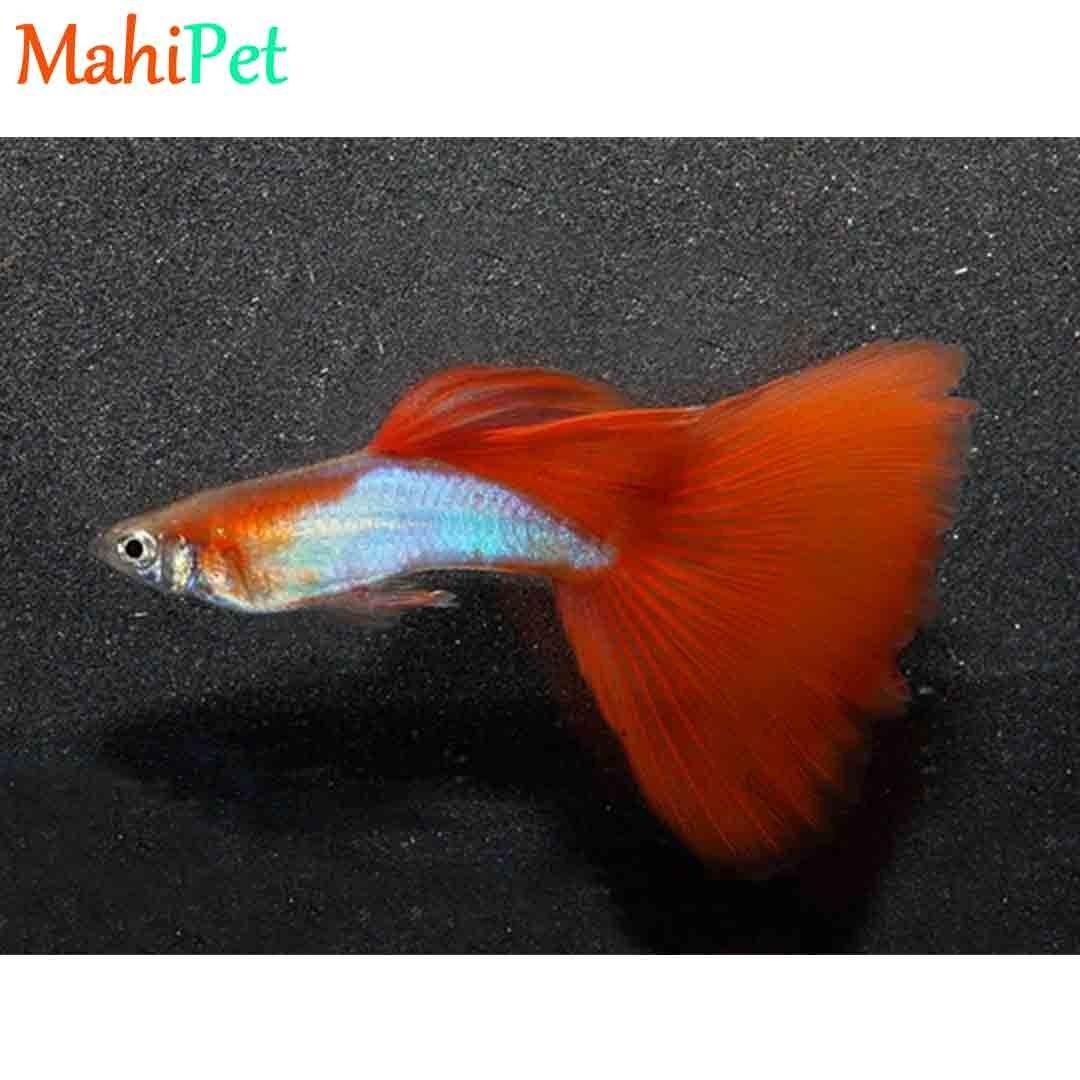 تصویر ماهی گوپی سیلور رد (جفت)