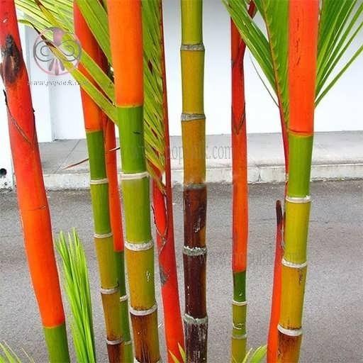 تصویر بذر بامبو رنگی