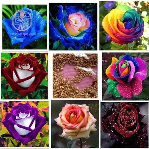 تصویر بذر گل رز 9 رنگ میکس