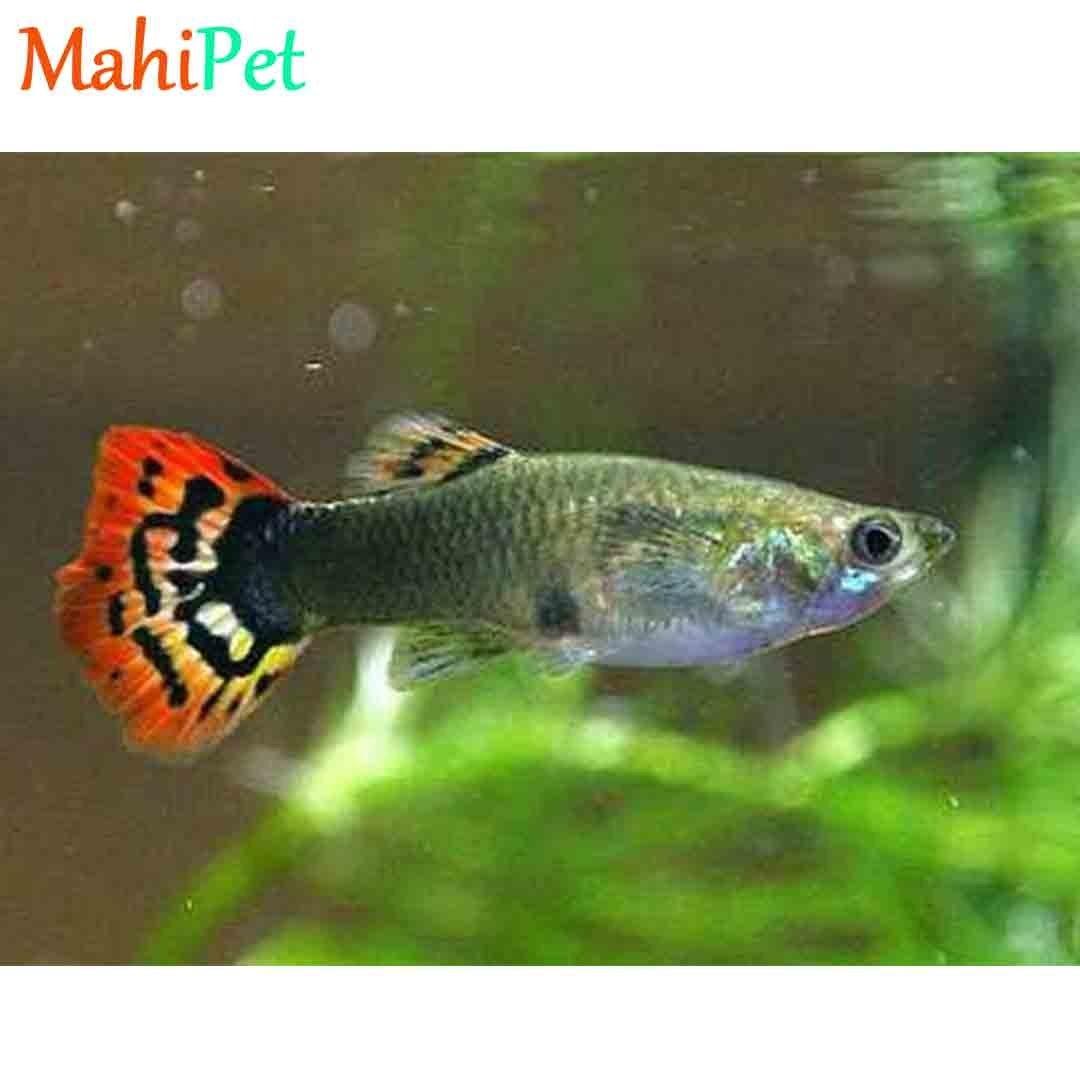 تصویر ماهی گوپی ایرانی جفت