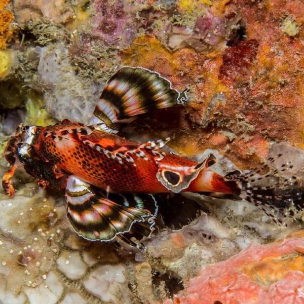 تصویر خروس ماهی فومانچو – Twospot Lionfish