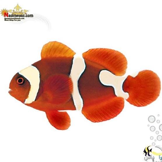 image ماهی دلقک مرون تکثیری maroon clownfish