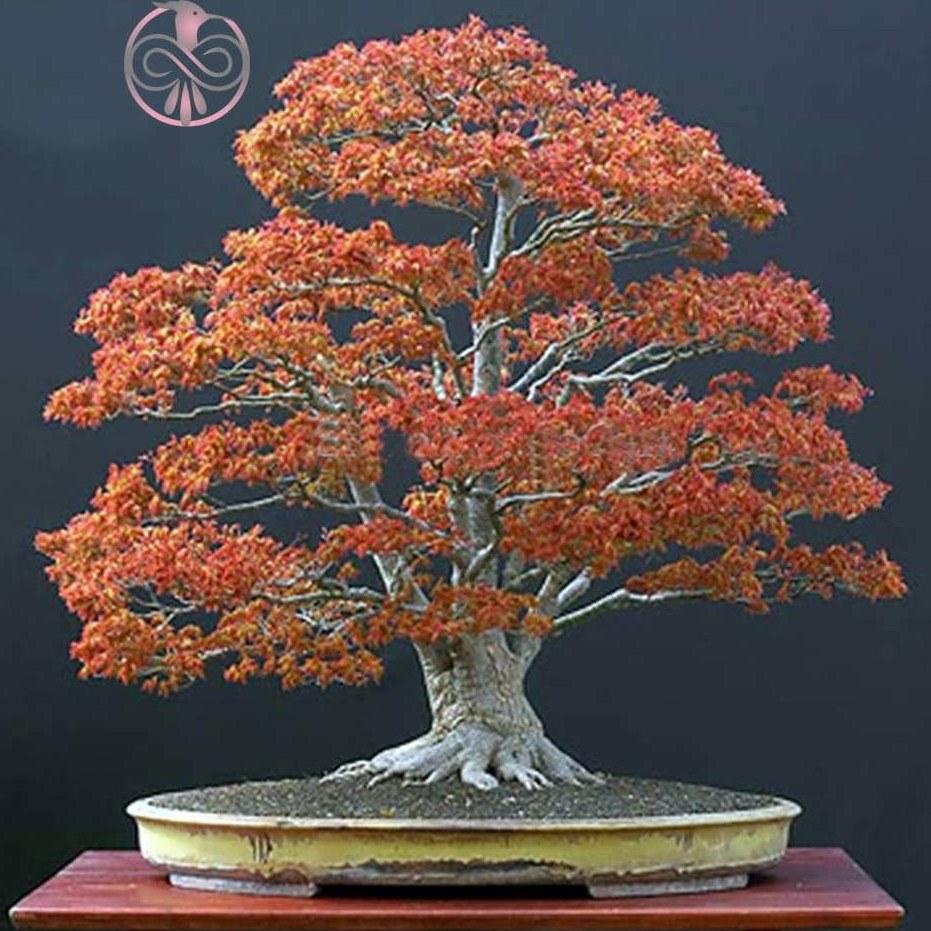 عکس بذر درخت افرا قرمز شیرین  بذر-درخت-افرا-قرمز-شیرین