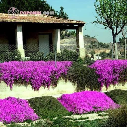 بذر گل قالی جادویی میکس