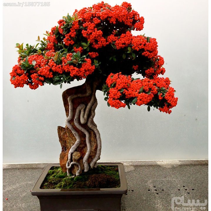 "main images 7عدد بذر بونسای ""red pyracantha bonsai"""