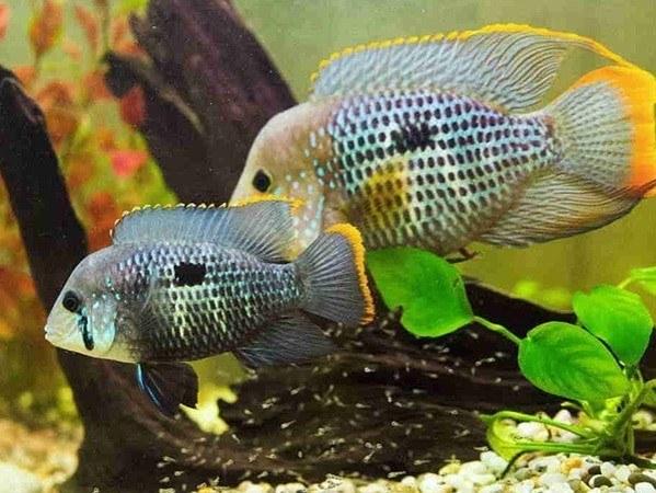 ماهی گرین ترور green terror fish