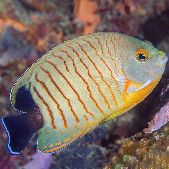 تصویر فرشته ماهی ایبلی – Red Stripe Angelfish