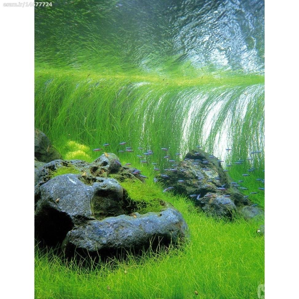بسته 100 عددی بذر گیاه گندمی آبزی ( الوکاریس ) مناسب جهت استفاده در میانه و عقب صخره ها در آکواریوم | بذر  گیاه گندمی آبزی  Eleocharis Acicularis