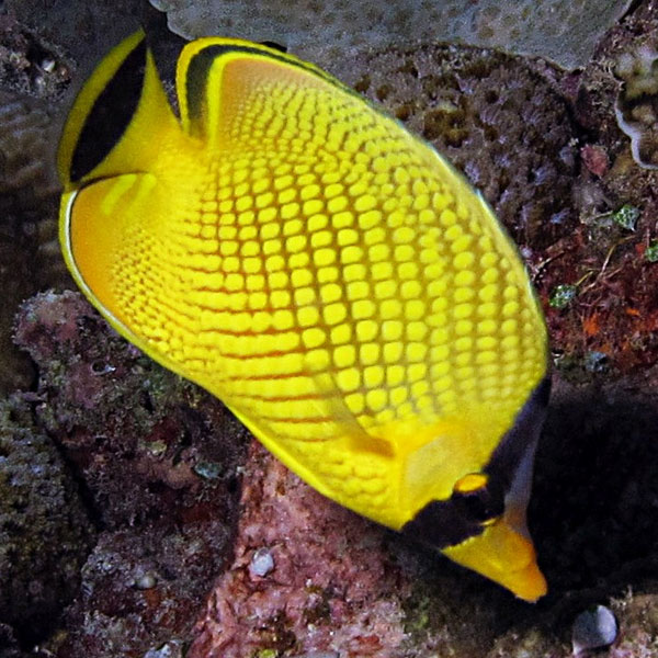 تصویر پروانه ماهی مشبک ( لاتیسد ) – Latticed Butterflyfish