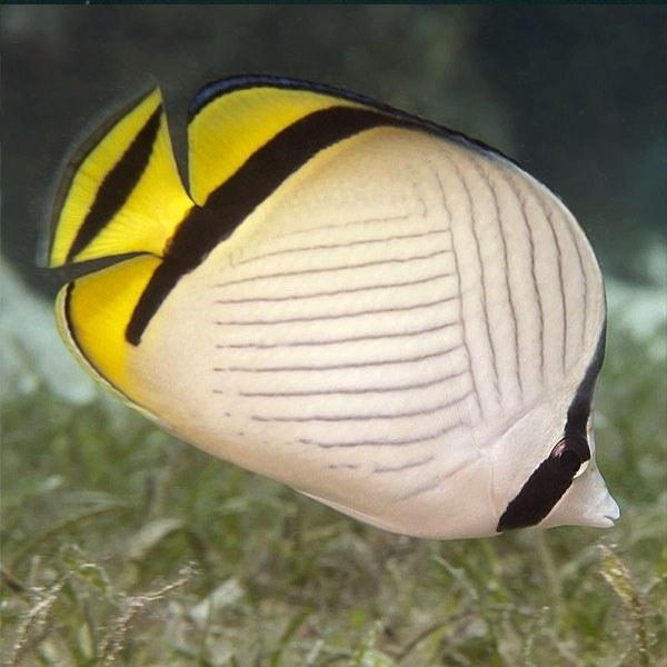 تصویر پروانه ماهی واگابوند – Vagabond Butterflyfish