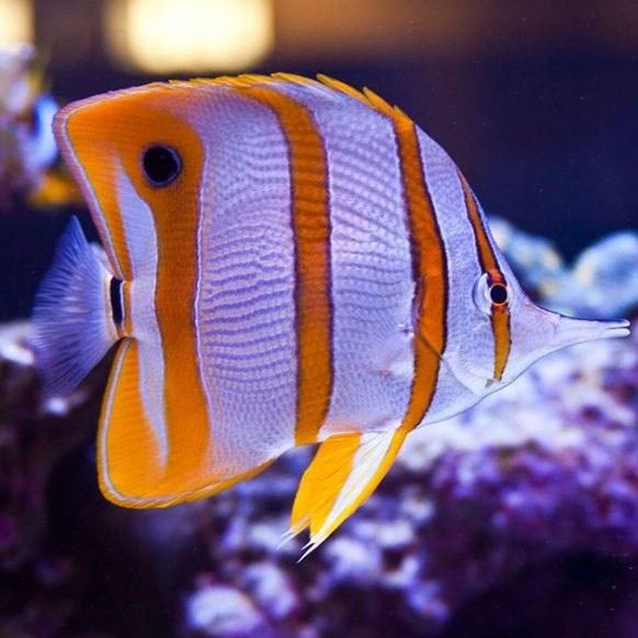تصویر پروانه ماهی نوار مسی – Copperband Butterflyfish