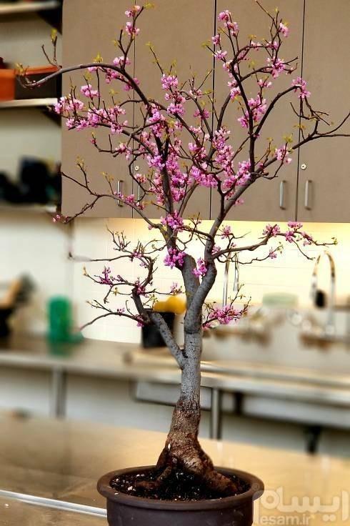 عکس Cercis siliquastrum Bonsai      بذر بنسای ارغوان  cercis-siliquastrum-bonsai-بذر-بنسای-ارغوان