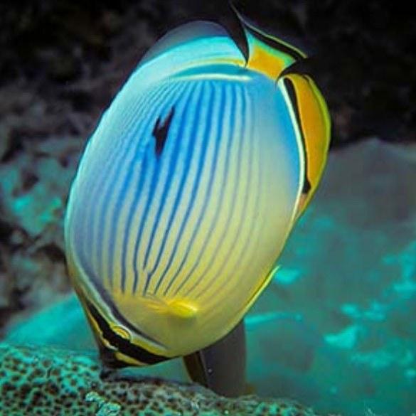 تصویر پروانه ماهی ملون – Melon Butterflyfish