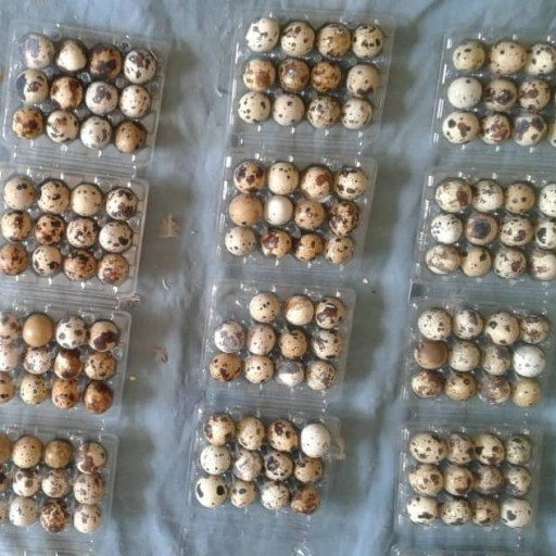 تخم بلدرچین | تخم بلدرچین خانگی 12 عددی