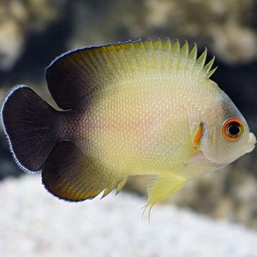 تصویر فرشته ماهی ورولیکی ( نیمه مشکی ) – Half Black Angelfish