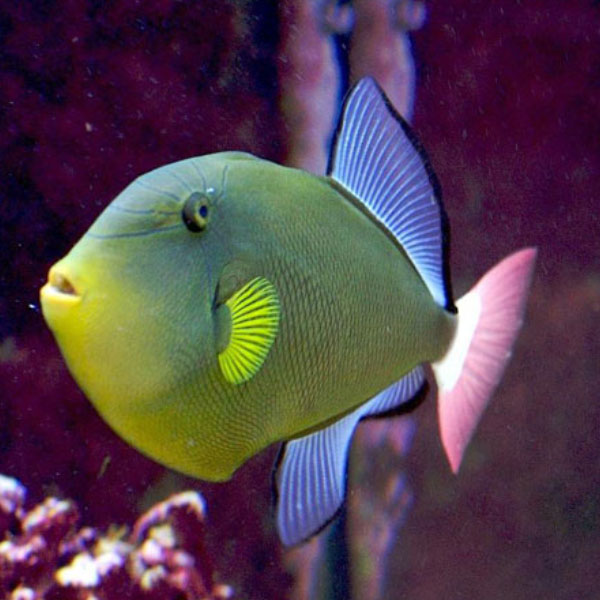 تصویر ماشه ماهی دم صورتی – Pinktail Tigger fish