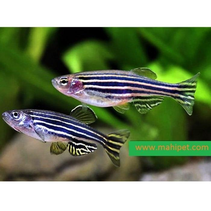 تصویر پک ماهی زبرا آبی