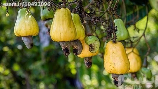 نهال بادام هندی زرد