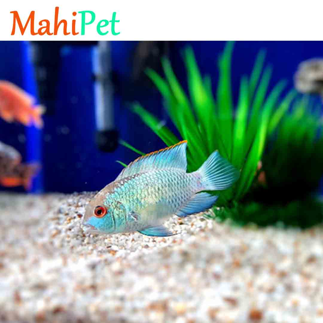 تصویر ماهی بلو آکارا 3 تا 5 cm