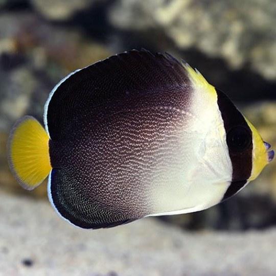 تصویر فرشته ماهی سنگاپوری – Singapore Angelfish