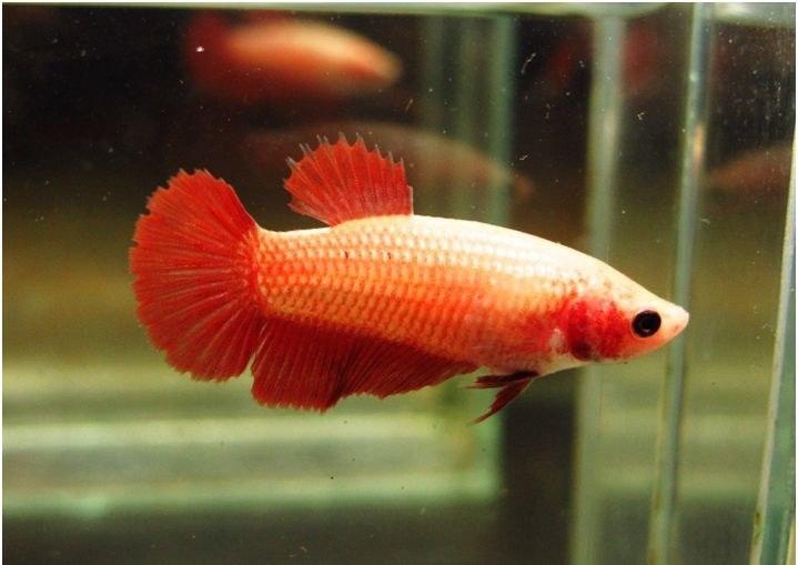 تصویر ماهی فایتر هافمون – ماده