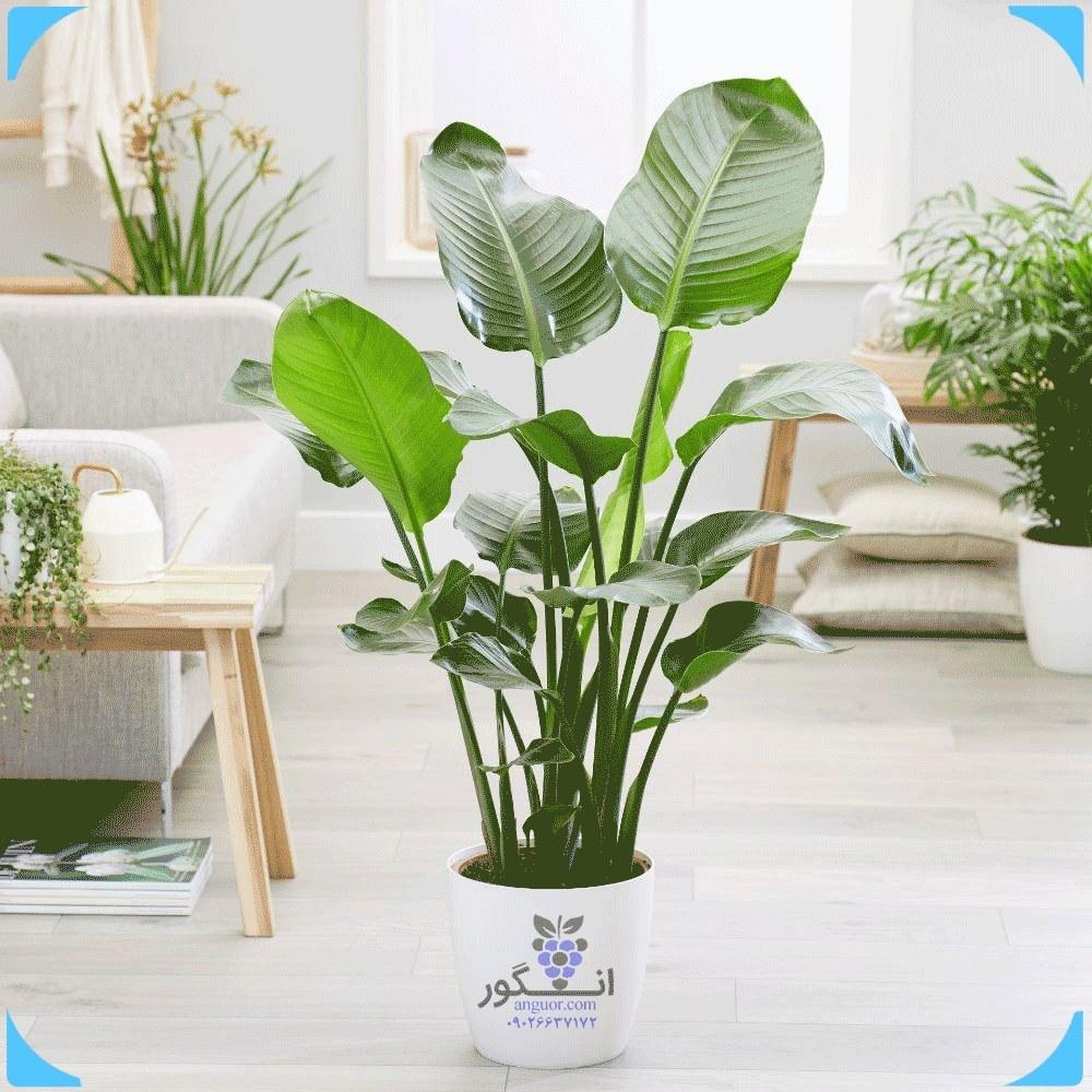 تصویر گیاه استرلیتزیا (پرنده بهشتی) به همراه گلدان