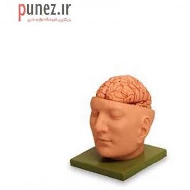 تصویر مولاژ مغز انسان طرح آناتومی سر انسان