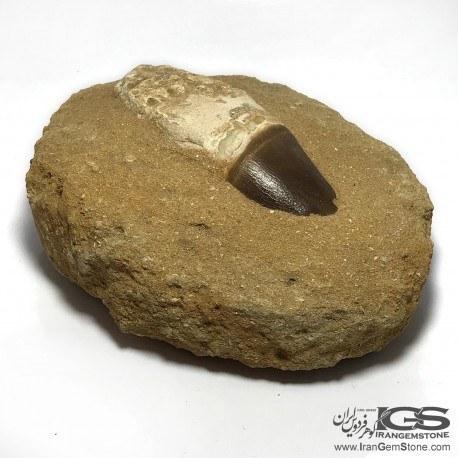 تصویر دندان کم یاب دایناسور موساسور Mosasaurs