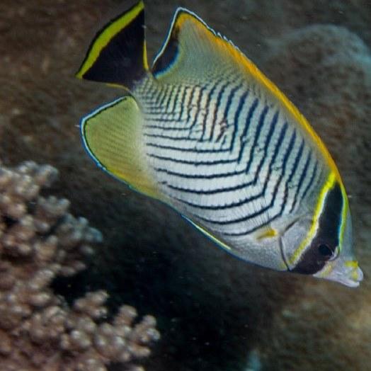 تصویر پروانه ماهی شورون – Chevron Butterflyfish