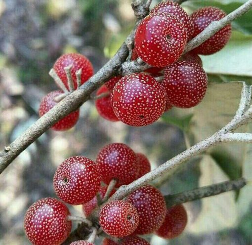 عکس نهال انگور فرنگی یا انگور ژاپنی  نهال-انگور-فرنگی-یا-انگور-ژاپنی