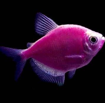 تصویر ماهی کالرویدو بنفش