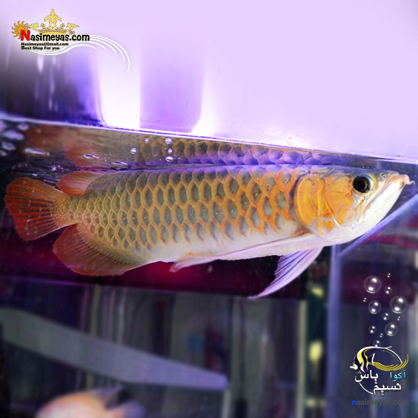 تصویر ماهی آروانا سوپر رد با چیپ و شناسنامه سایز بزرگ