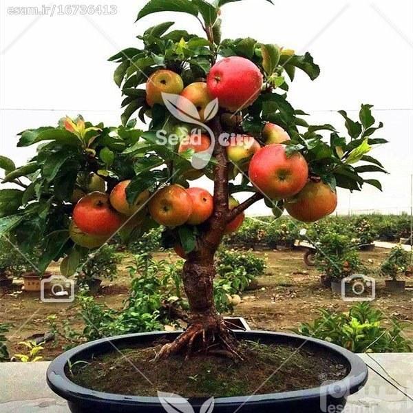 بذر  سیب کوتوله - Apple |