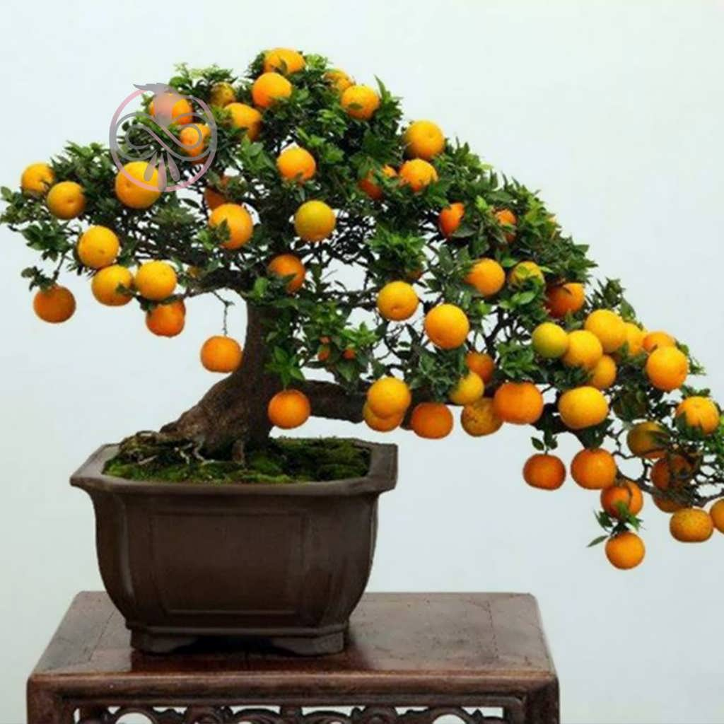 main images بذر درخت ازگیل ژاپنی
